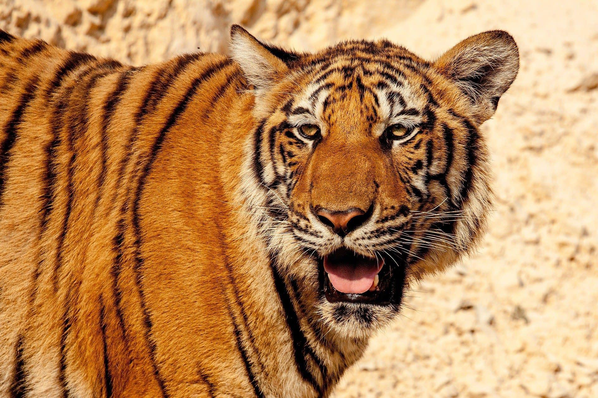 tiger-484097_1920